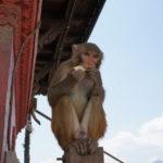 Affe im Affentempel in Kathmandu isst Brot