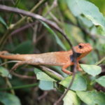 Kleine Echse im Dschungel des Chitwan Nationalparks