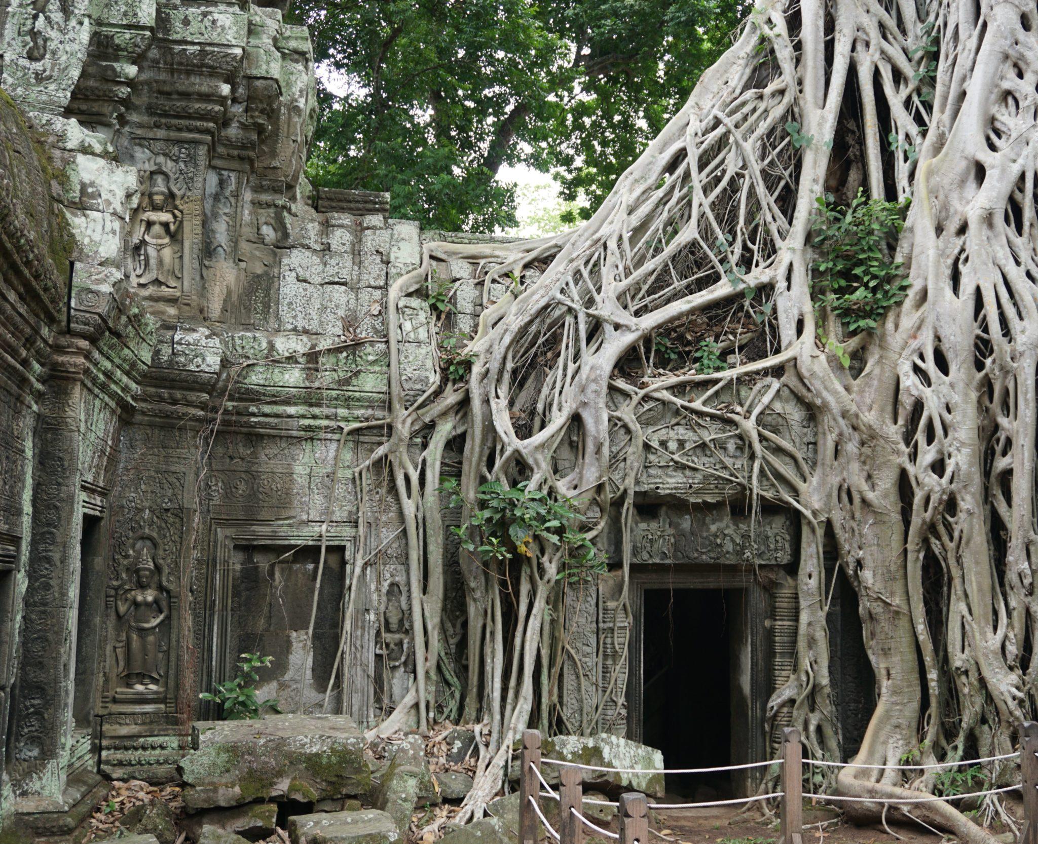 Baum-Wurzeln in den Tempelanlagen von Angkor