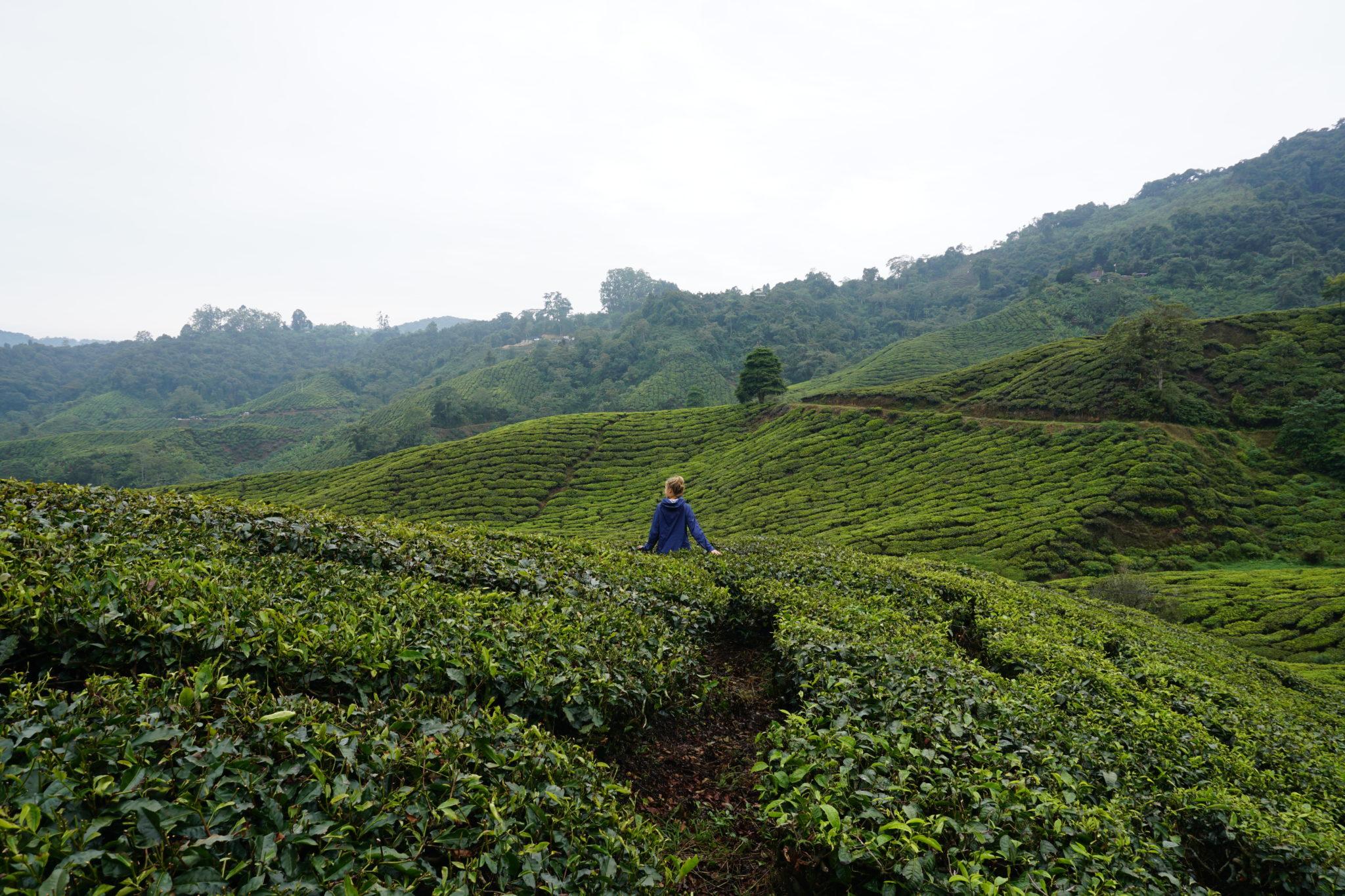 Mona in den Teefeldern der BOH-Teeplantage in den Cameron Highlands