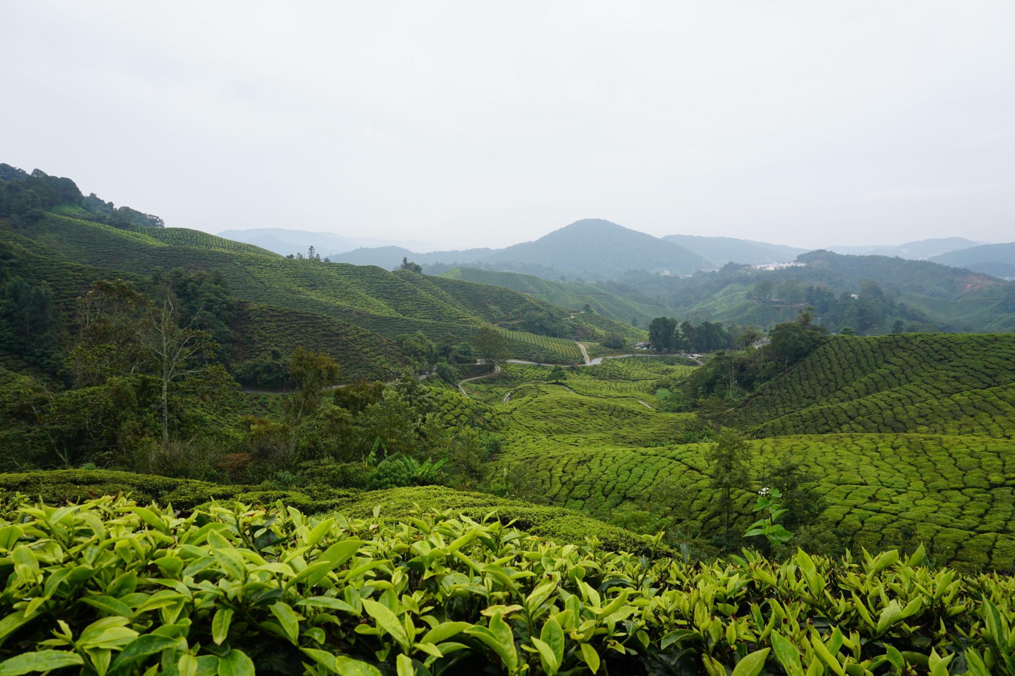 Foto über die grünen Weiten der Teefelder in den Cameron Highlands