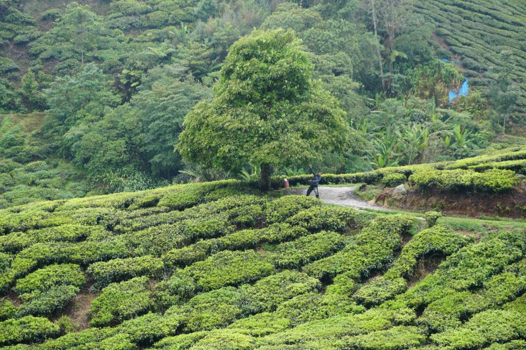 Marcel unter einem Baum inmitten der Teefelder der BOH-Teeplantage in den Cameron Highlands