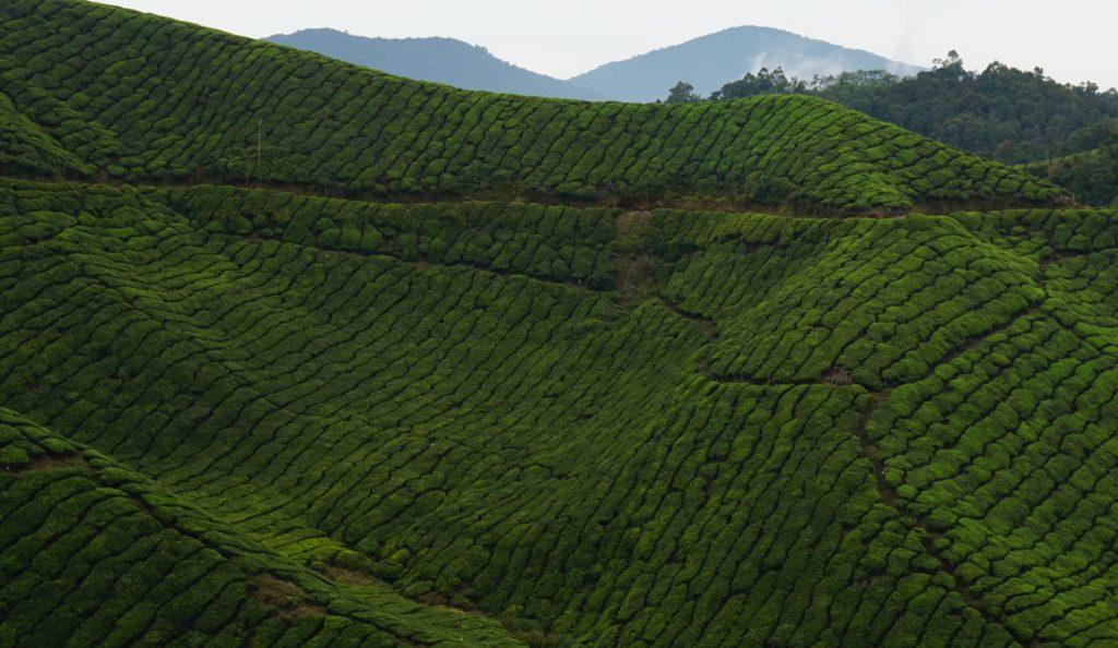 Ausschnitt der Muster in den Teefeldern der BOH-Teeplantage in den Cameron Highlands