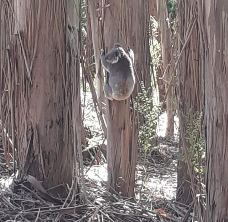 Koala bei Adelaide, der einen Baum hochklettert