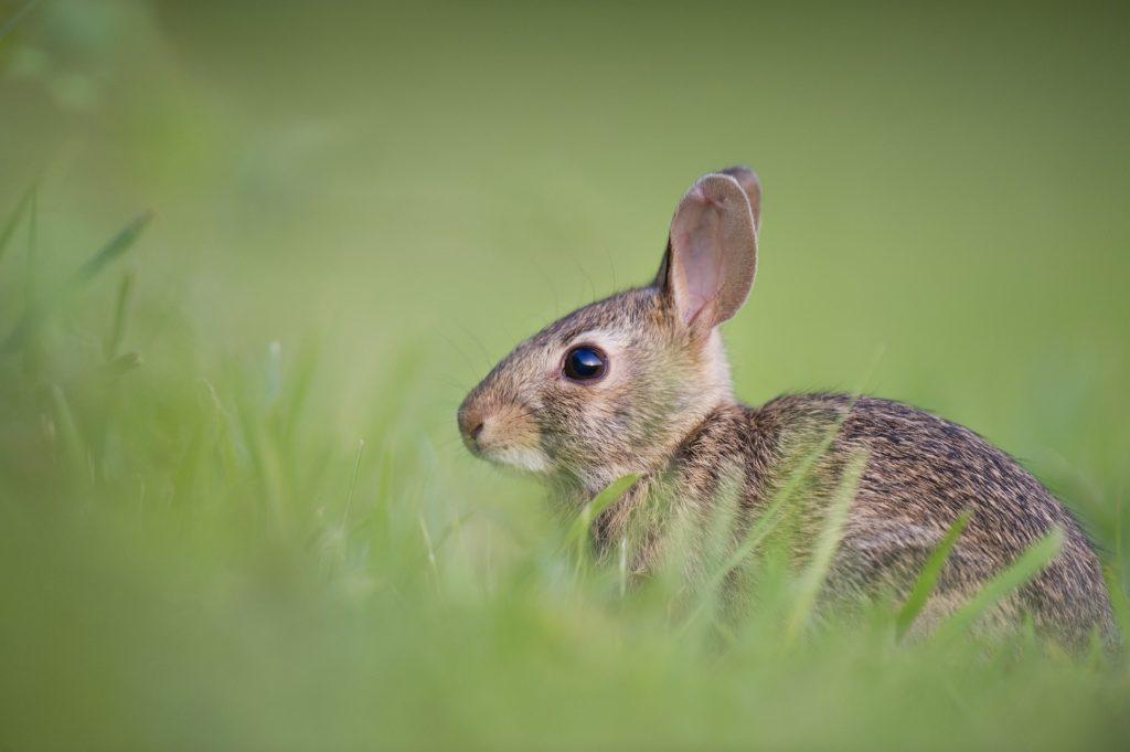 Ein Kaninchen im Gras.