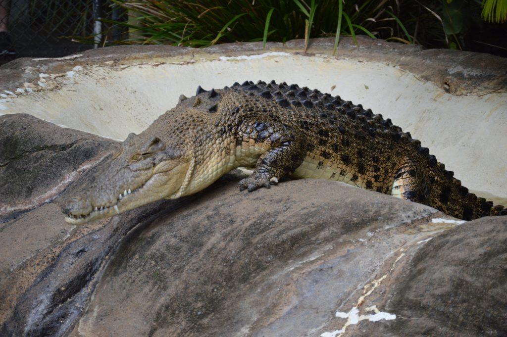 Salzwasser Krokodil auf einem Stein