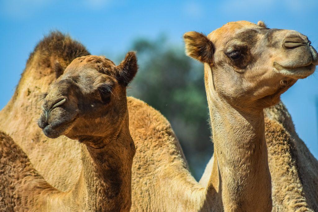Foto von zwei Kamelen