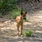 Tiere in Australien - Wilder Dingo in Australien