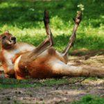 Rotes Riesenkänguru, das auf dem Boden liegt