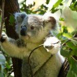 Koala auf einem Eukalyptus Baum