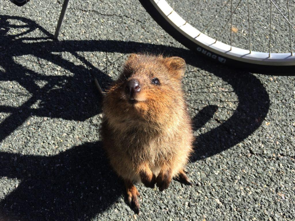 Tiere in Australien - Lächelndes Quokka auf einer asphaltierten Straße