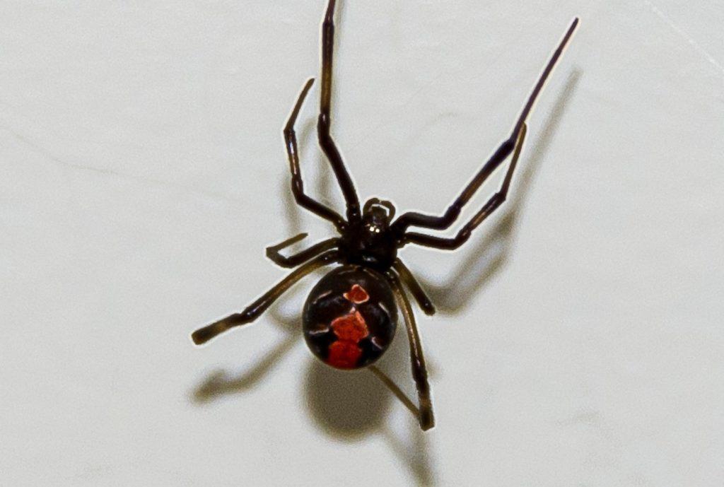 Redback Spider auf weißer Wand