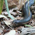 Foto einer Taipan-Schlange auf dem Boden