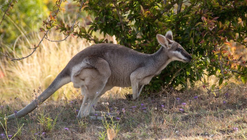 Tiere in Australien - Wallaby im australischen Outback
