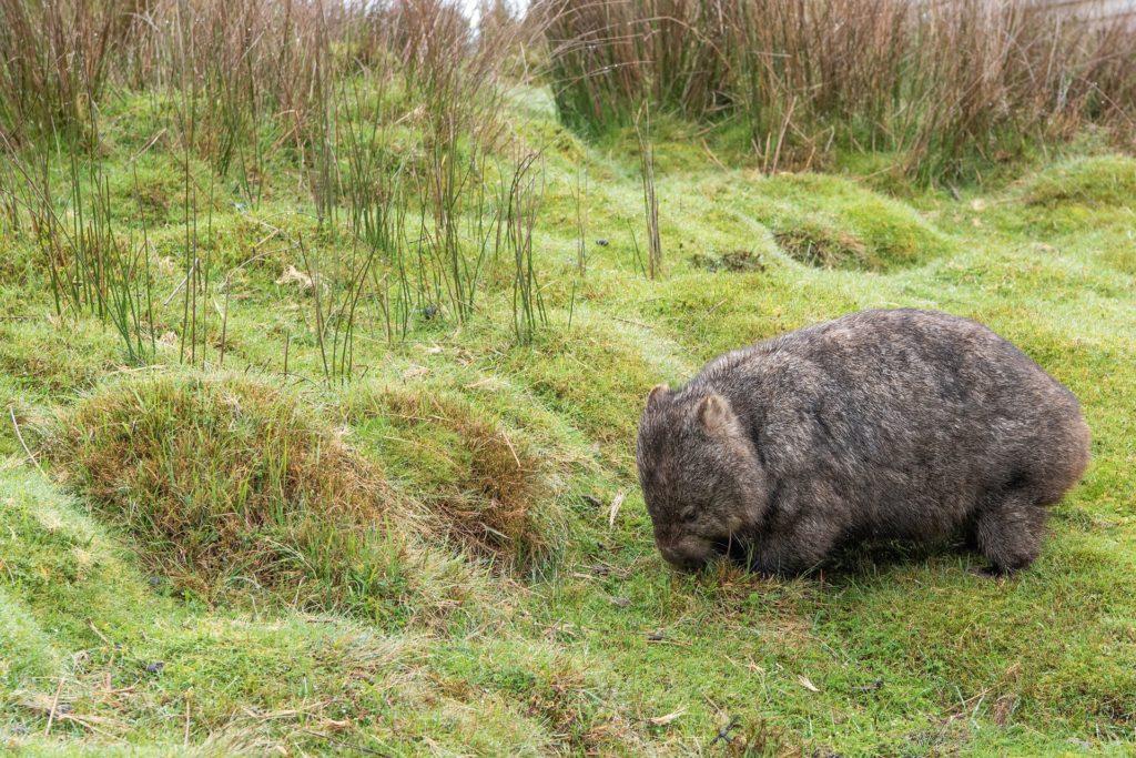 Ein Wombat im Gras.