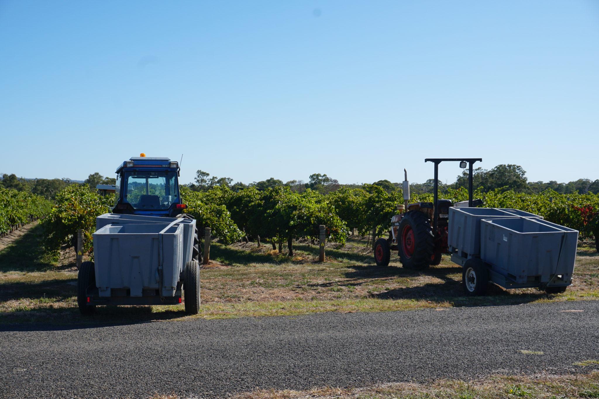 Zwei Traktoren beim Grape Picking mit Anhängern für die Trauben