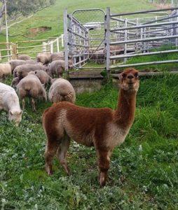 Farmwork Update: Alpaka bewacht die Schaf-Herde