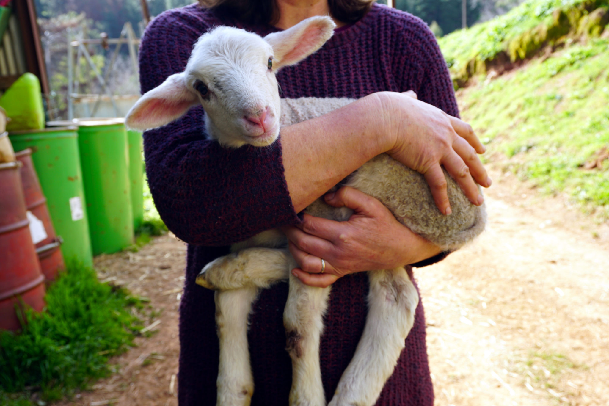 Baby-Lämmchen ins Lynns Armen