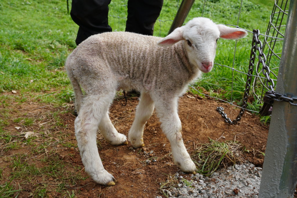 Baby Lamm Franz