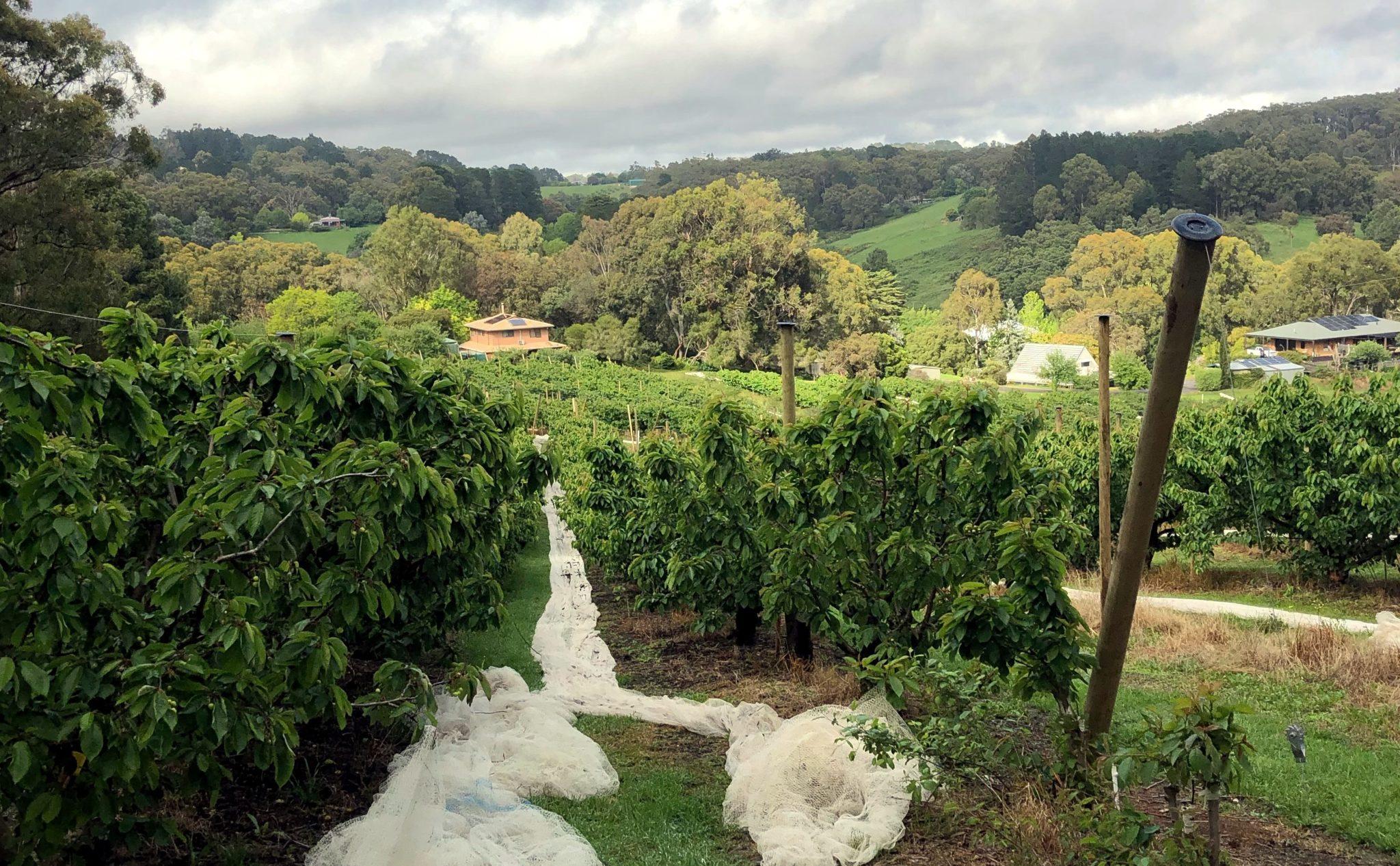 Netze zwischen Bäumen auf einer Kirschplantage in Australien.