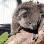 Foto von Dolly, der Koala-Dame in Bordertown