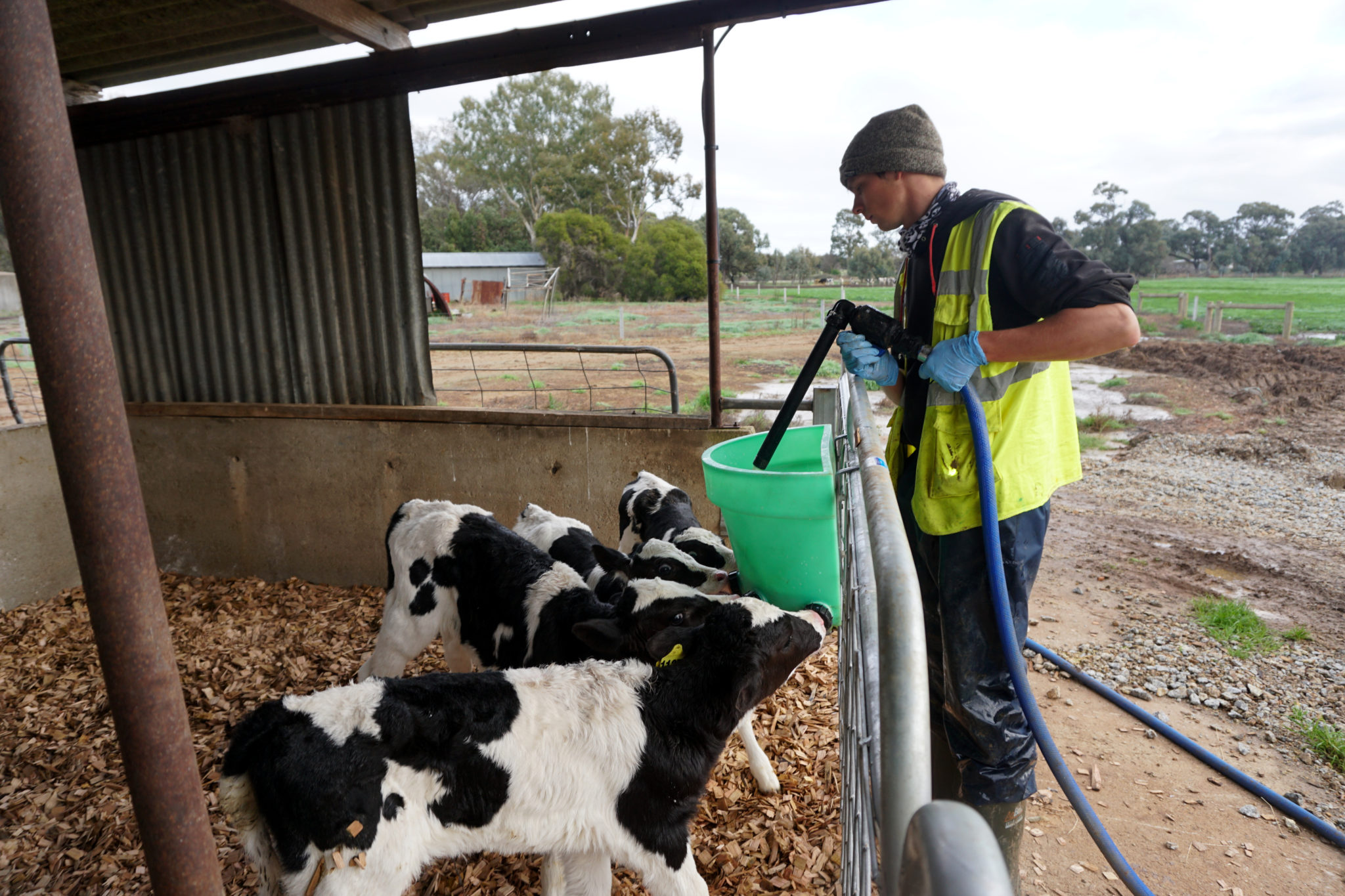 Dairy Farm in Australien: Marcel beim Calf Rearing