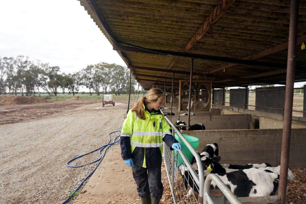 Dairy Farm in Australien: Mona beim Calf Rearing